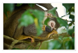 Premium poster  Common Squirrel Monkey
