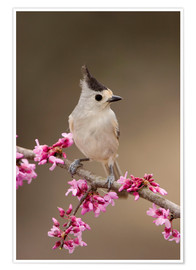 Premium poster Black-crested Titmouse