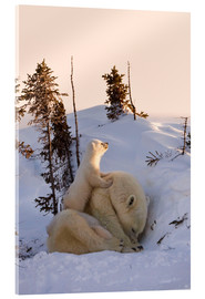 Acrylic print  Polar bear family in Wapusk National Park, Canada