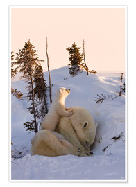 Premium poster  Polar bear family in Wapusk National Park, Canada