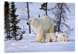 Acrylic print  Polar bear with three cubs in the tundra