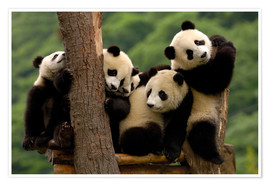 Premium poster  Giant Panda babies in Wolong China