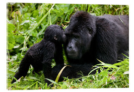 Acrylic print  Infant mountain gorilla with mother