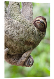 Acrylic glass  A Brown-Throated Sloth and her baby