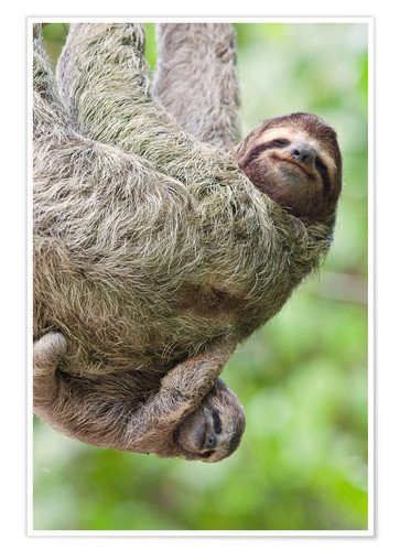 Poster A Brown-Throated Sloth and her baby