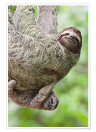 Premium poster  A Brown-Throated Sloth and her baby