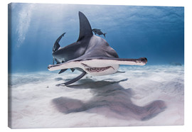 Canvas print  Big hammerhead on the seabed - Cultura/Seb Oliver