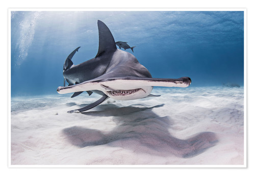 Premium poster Big hammerhead on the seabed