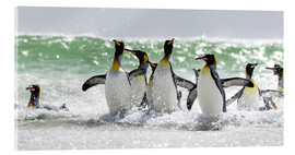 Acrylic print  King penguin bathing - Cubo Images