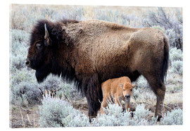 Acrylic print  Bison cow with calf
