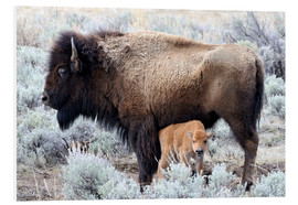 Forex  Bison cow with calf