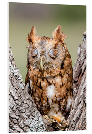 Forex  Screech-Owl eating grasshopper