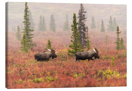 Canvas print  Elks wander through the taiga - Alaska Stock