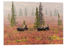 Foam board print  Elks wander through the taiga - Alaska Stock
