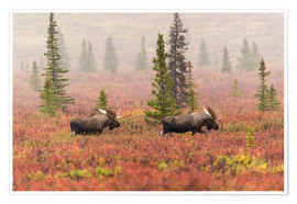 Premium poster  Elks wander through the taiga - Alaska Stock