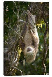 Canvas print  Sloth over head - Reiner Harscher