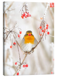 Canvas  Robins in the snow - Buiten-Beeld