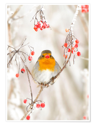 Premium poster Robin in the snow
