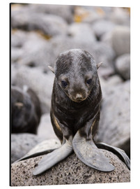Aluminium print  Little fur seal - Alaska Stock