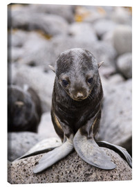 Canvas  Little fur seal - Alaska Stock