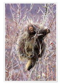Premium poster Porcupine hanging to a Willow branch