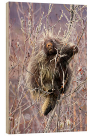 Alaska Stock - Porcupine hangs on a Willow Tree branch