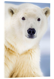 Acrylic glass  Icebear - Alaska Stock
