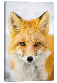 Canvas print  Red fox - Alaska Stock