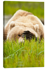 Canvas  Brown bear with paw on his head - Alaska Stock