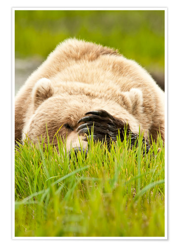 Poster Brown bear with paw on his head