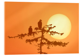 Acrylic print  Silhouette of Bald Eagles - Alaska Stock
