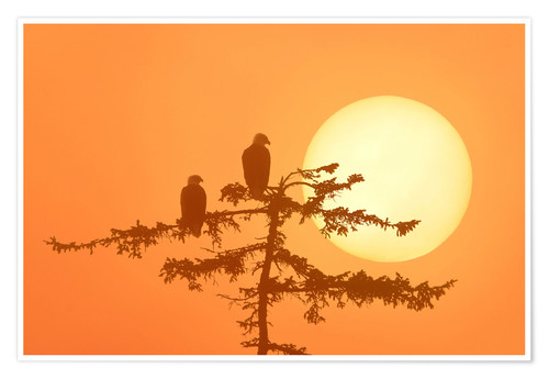 Premium poster Silhouette of Bald Eagles