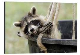 age fotostock - Rocking raccoon
