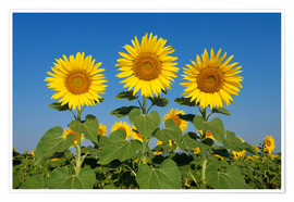Premium poster Common Sunflowers (Helianthus annuus)