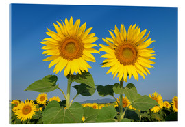 Acrylic glass  Two sunflowers - Radius Images