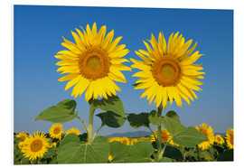 Foam board print  Two sunflowers - Radius Images