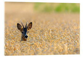 Acrylic print  A deer in the field - Radius Images
