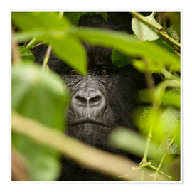 Premium poster A silverback gorilla in the undergrowth