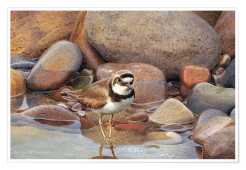 Premium poster Little wagtail