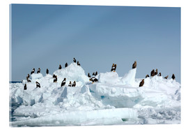 Acrylic print  White-tailed eagles on pack ice - Buiten-Beeld