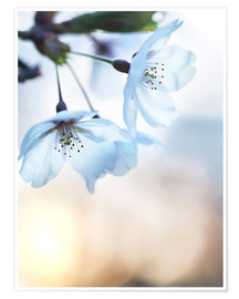 Premium poster Cherry blossom at sunrise