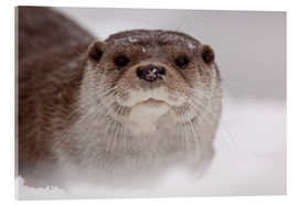 Acrylic glass  Otter in the snow - Buiten-Beeld