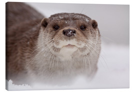 Canvas print  Otter in the snow - Buiten-Beeld