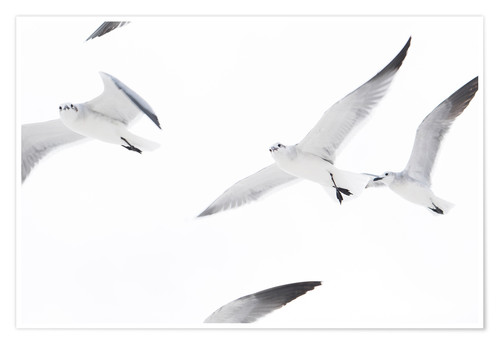 Poster Flying seagulls
