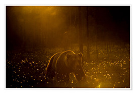 Poster European brown bear walking in forest at sunset