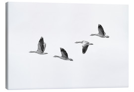 Canvas print  Four gray geese in flight - olbor