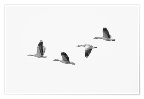 Premium poster Four gray geese in flight