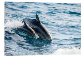Acrylic print  Eastern Pacific dolphin beside his mother - Dave Fleetham