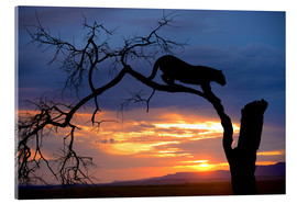 Acrylic print  Climbing Leopard in the sunset - Jim Zuckerman