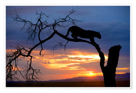 Premium poster Climbing Leopard in the sunset
